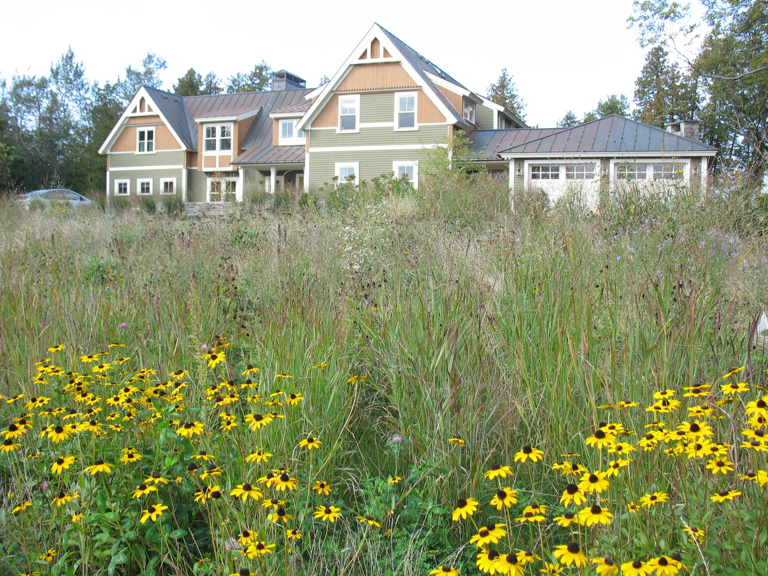 Rudbeckia and Panicum in VT meadow