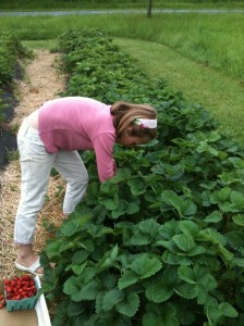 picking-strawberries-in-VT-garden